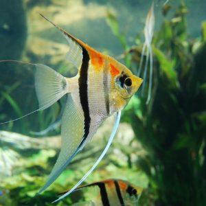 Les poissons qui peuvent cohabiter dans un aquarium